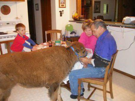 Udomowiony bizon 3
