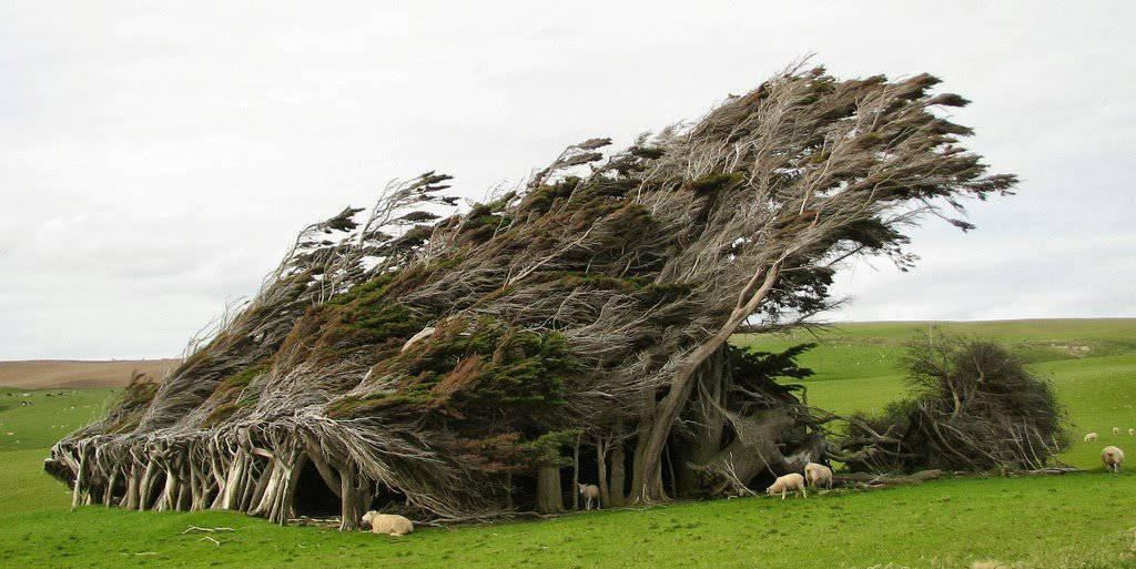 Drzewa uformowane przez wiatr 7