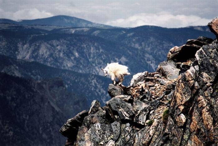Szalone kozy 16