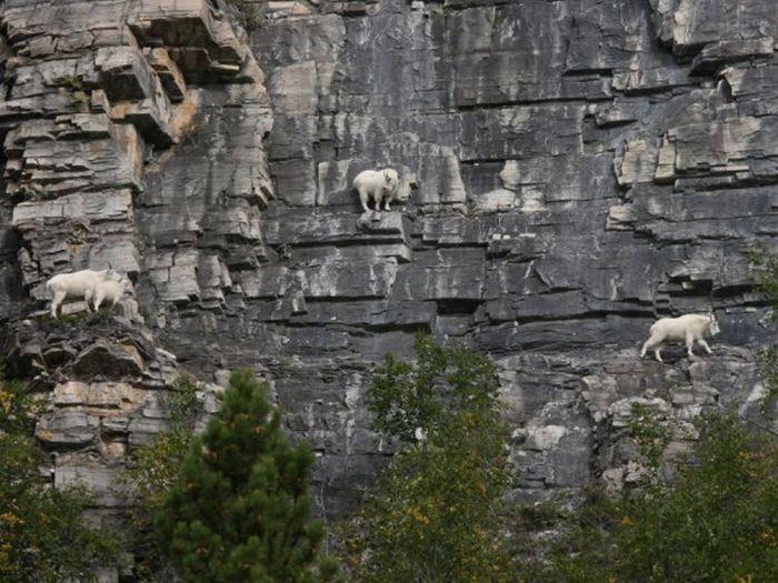 Szalone kozy 12