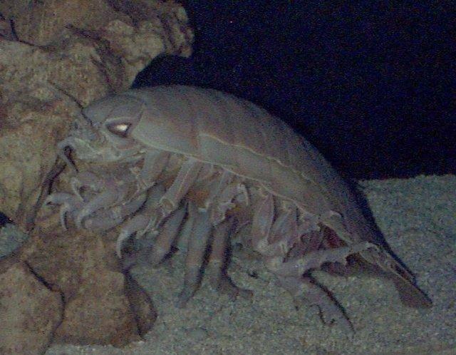 Bathynomus giganteu - olbrzymi isopod 27